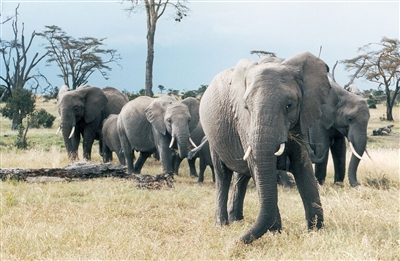 A herd of elephants in a national park in Kenya